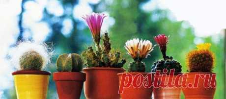 Как ухаживать за кактусами После того как у людей в домах начали появляться персональные компьютеры, то около них стало модно ставить кактусы. Многие полагают, что такое растение обладает способностью понижать уровень вредного ...