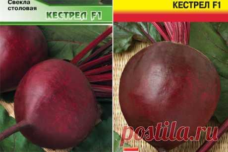 Свекла Кестрел F1: отзывы, описание и характеристика сорта, фото, достоинства и недостатки, особенности выращивания, урожайность