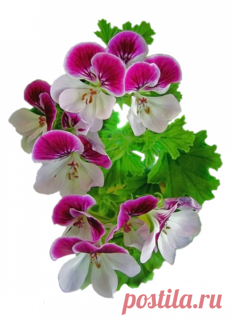 Красивые цветы на прозрачном фоне