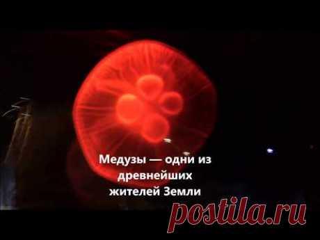 Самые необычные животные — медузы распространены во всех без исключения морях и океанах