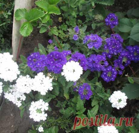 Какие цветы цветут почти все лето | 25 соток счастья! | Яндекс Дзен