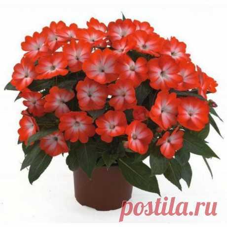 Комнатный цветок Бальзамин или недотроги – это обширное семейство растений....
