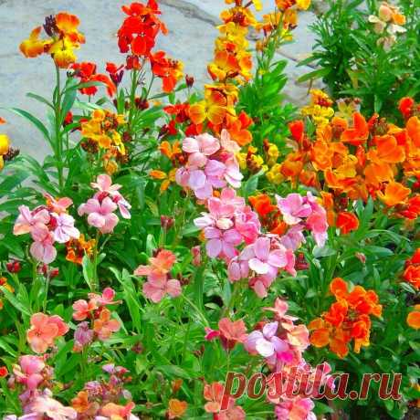Когда надоели бархатцы и львиный зев. Список неприевшихся невысоких цветов для рабаток и бордюр | Наша жизнь| сад и огород | Яндекс Дзен