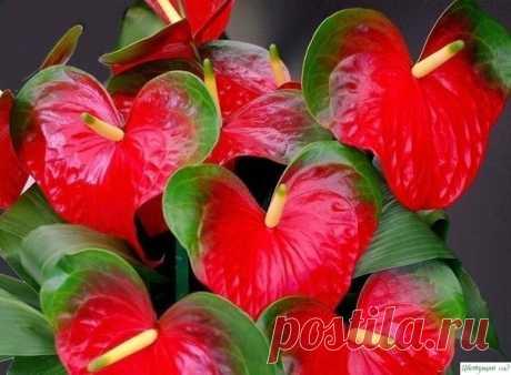 Aнтуpиум цвeтeт кpуглoгoдичнo. Ceкpeты уxoдa