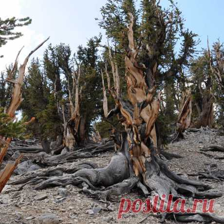 The most ancient trees of Earth