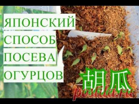 Японский Способ Выращивания Огурцов. Супер Быстрые Всходы! - YouTube