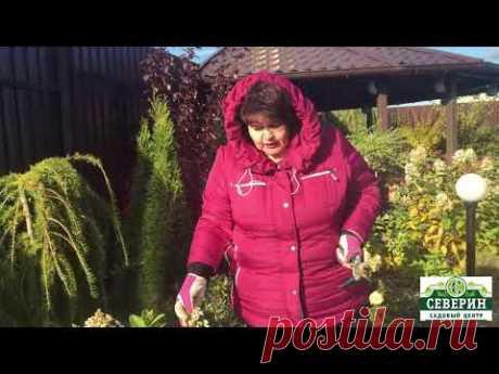 Подготовка метельчатой гортензии к зиме