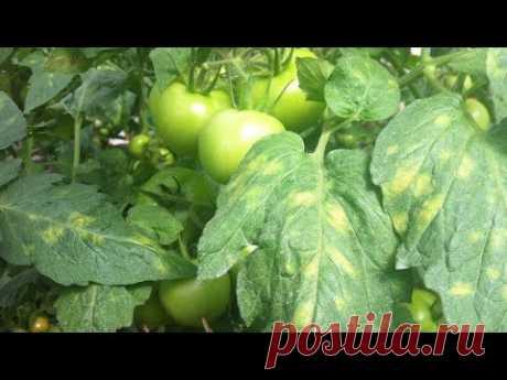 ЖЕЛТЫЕ ПЯТНА на листьях помидор - что делать?