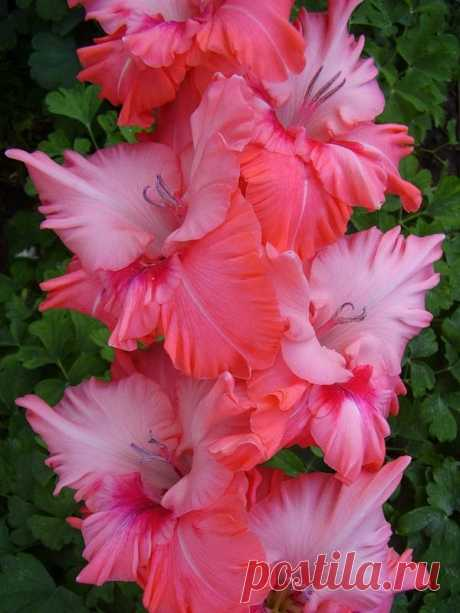 Gladiolus 'Malika'  |  Найдено на сайте m.fotki.yandex.ru.