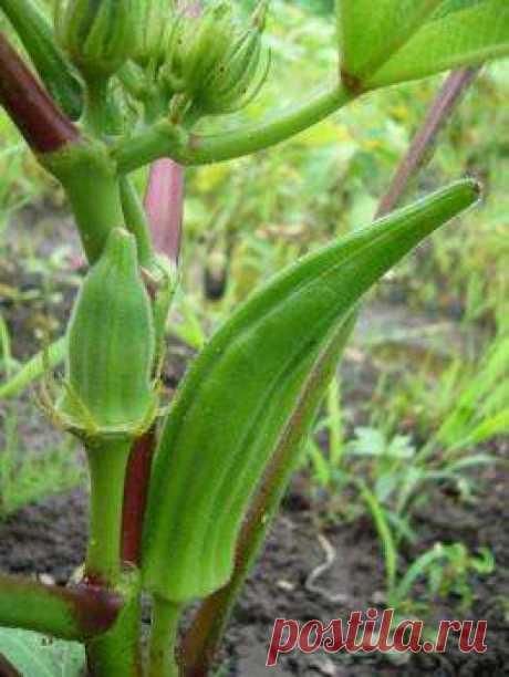 Бамия - описание выращивания и приготовления овоща; его польза и вред