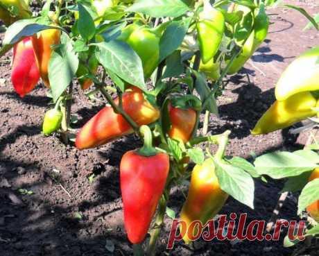 Сладкий перец перестал завязывать новые плоды