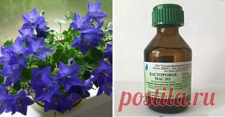 ¡Las plantas florecerán pomposamente y mucho tiempo, si aprovecharse de la fertilización prodigiosa!