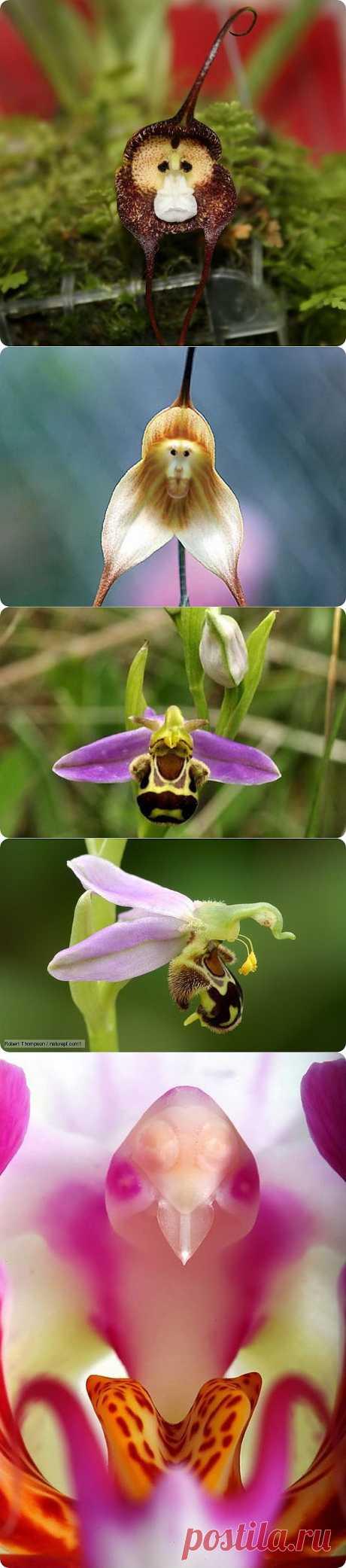 Шесть удивительных орхидей, похожих на животных | ZooPicture.ru
