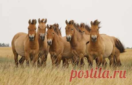 «История лошади» от генетиков  Лошади Пржевальского оказались не дикими, а одичавшими      Прочитав геномы древних и современных лошадей, генетики пересмотрели историю их одомашнивания. Выяснилось также, что лошади Пржевальского –…