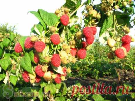 Secrets of skilled gardeners. Raspberry
