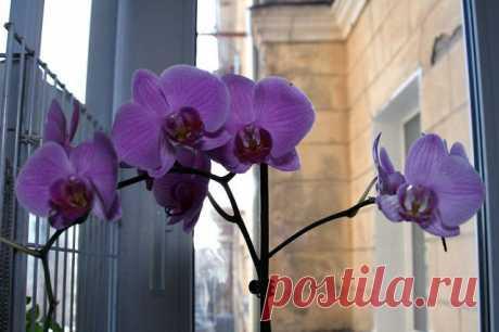 гвинейская орхидея - Поиск в Google