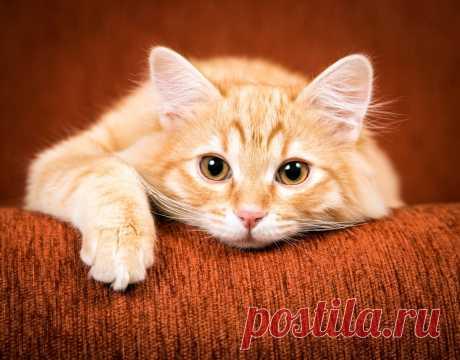 Самые красивые рыжие кошки в мире.