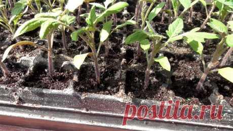 Почему я не делаю пикировку томатов | Садовичок | Яндекс Дзен