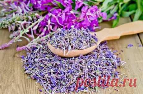 Русское чудо-растение Иван-чай: невероятные целебные свойства