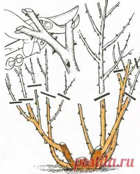 Как правильно обрезать розы в саду?   Розы (Огород.ru)