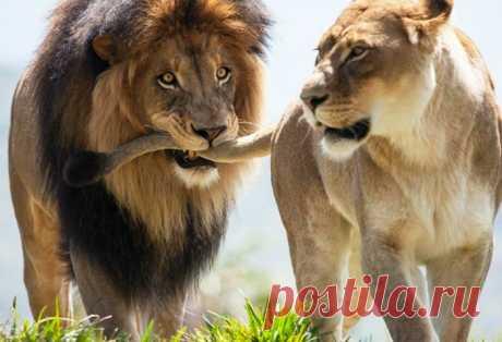 Сидят лев с быком, ужинают. Льву звонит жена: — Дорогой, ты скоро домой? — Да, дорогая, скоро буду! Бык заржал: — Ну ты, Лев, даёшь: «Да, дорогая, скоро буду!» Ты же царь зверей! Я вот по столу – трясь! – молчать, баба, когда надо, тогда и приду! На что Лев замечает: — Так ты не ровняй, у тебя жена — корова, а у меня – Львица!