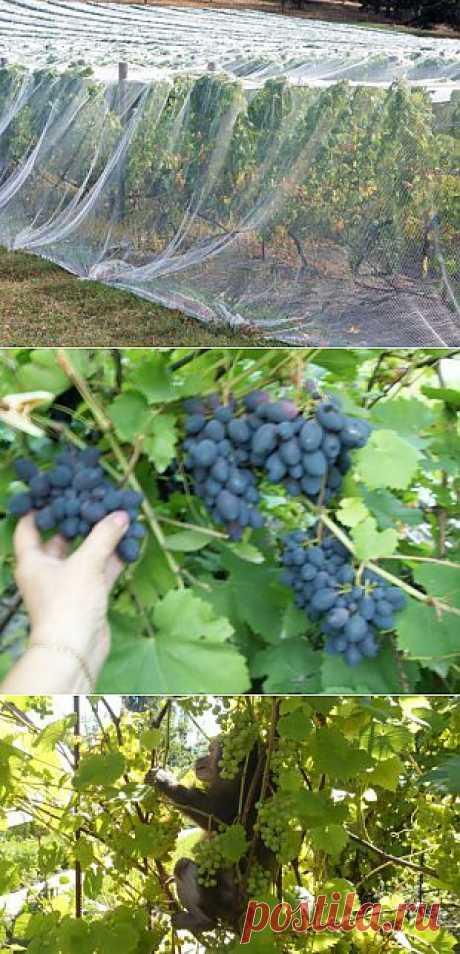 (+1) тема - Как можно укрыть виноградник   6 соток