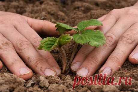 Как рассадить клубнику осенью: советы специалистов Как рассадить клубнику осенью. Схема посадки. Как подготовить грядку под посадку клубники. Как сажать клубнику на агроволокно.