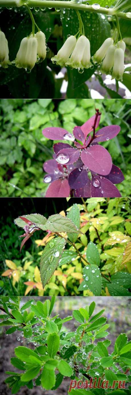 Сад после дождя.У нас сегодня дождь. Намокшие под дождем ветви клонятся к земле. Поникли сирень и смородина, тяжелыми стали листья и цветы. А когда ливень утих, я с зонтиком отправилась бродить по саду. Капли дождя на растениях завораживают, я готова любоваться ими бесконечно, невзирая на атаки комаров и неуютную сырость. Посмотрите, как красива после дождя купена — кажется, тронь — и эти колокольчики с хрустальными подвесками зазвенят)