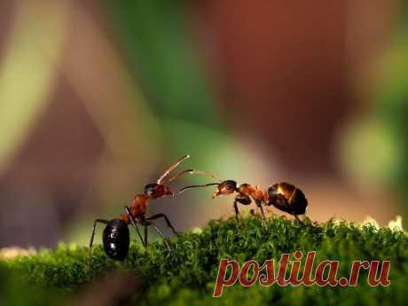 Как избавиться от муравьев на участке навсегда! Муравьи приходят на участок всерьез и надолго, строят на нем муравейник и образуют колонию с маткой-королевой во главе. Беда в том, что это многочисленное семейство оказывается на редкость прожорливым...