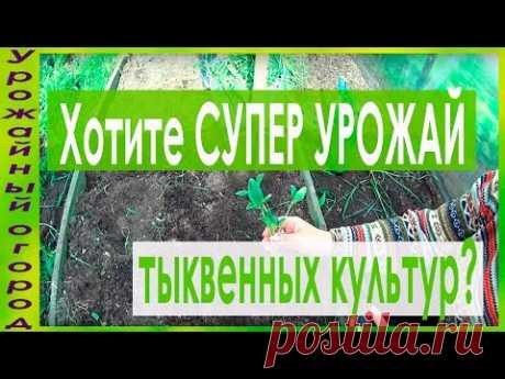 СУПЕР УРОЖАЙНЫЙ СПОСОБ ВЫРАЩИВАНИЯ КАБАЧКОВ,ТЫКВ И ПАТИССОНОВ!!! - YouTube