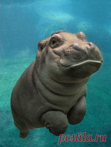 «Счастливый бегемотик под водой.» — карточка пользователя tcuzminova в Яндекс.Коллекциях