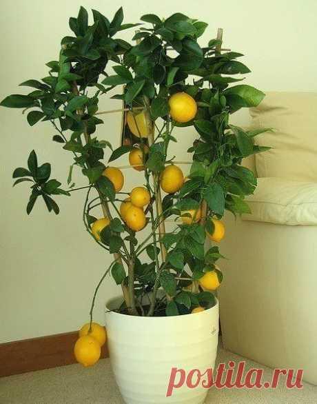КАК ВЫРАСТИТЬ ЛИМОН ДОМА? Вырастить лимон в домашних условиях нетрудно. Главное - правильно ухаживать, чтобы полюбоваться красивым деревцем и попробовать его вкусные плоды. Выращенные на этом комнатном растении плоды, не сравнятся с покупными лимонами, которые вы берёте в магазине или на рынке. Их срывают зелёными и обрабатывают химией, для того, чтобы они дозрели тогда когда нужно.  Главное, что нужно знать для того, чтобы вырастить лимон:  Во-первых: лимон светолюбивое д...