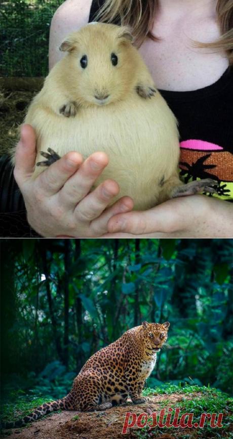 «Интересное положение»: 20 трогательно-забавных фотографий животных, которые готовятся стать мамами