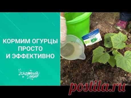 Кормим огурцы просто и эффективно. Первая подкормка огурцов в теплице по листу после высадки.
