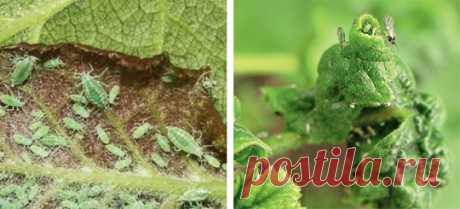 Борьба с вредителями черной смородины без «химии»