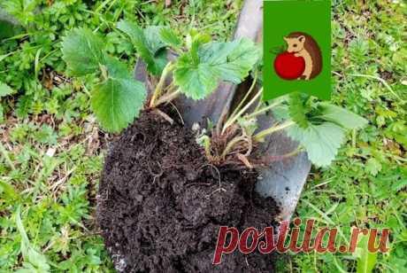 Сентябрь - время рассаживать клубнику. Как правильно разделить кусты, чтобы урожай был богатым уже в следующем году   садоёж   Яндекс Дзен