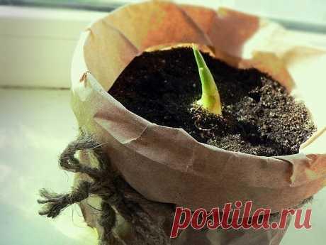 Выращиваем имбирь