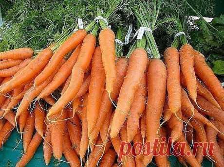 О использовании раствора марганцовки для моркови | 6 соток