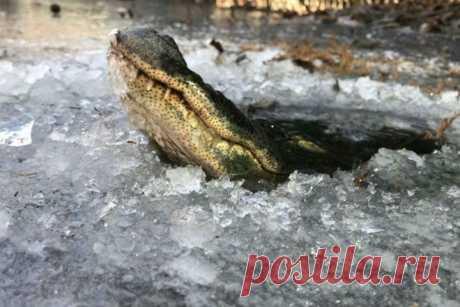 Как крокодилам удаётся выживать в ледяном плену / Научный хит