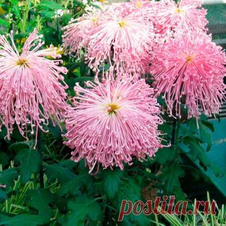 Многолетний садовый цветок Хризантема (Chrysanthemum). Семейство: сложноцветные (Compositae)  Многолетнее травянистое корневищное растение с густо облиственными деревенеющими стеблями высотой 25-100 см. Листья серо-зеленые, сидячие. Соцветия-корзинки диаметром 5-10 см, простые, полумахровые или махровые, разнообразных окрасок. Цветет с августа по ноябрь.  Основные виды Многолетние хризантемы являются межвидовыми гибридами х.индийской многоцветковой и х.корейской.