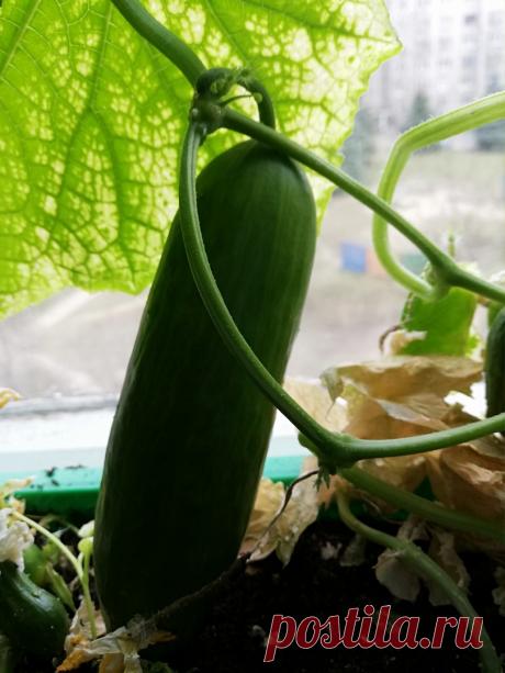Решила растить огурцы на подоконнике: высадила семена, купила грунт. Неприятности пришли оттуда, откуда не ждала   Белорусские сотки   Яндекс Дзен