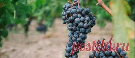 Обработка винограда весной от болезней и вредителей: для новичков Обработка винограда весной от болезней и вредителей: что нужно сделать ранней весной. Подробно для новичков. Когда опрыскивать виноград: список препаратов.