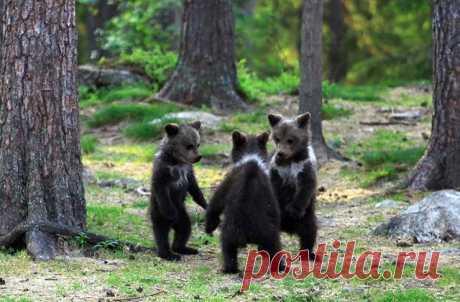 Эти удивительные снимки с «танцующими» медвежатами посчастливилось сделать финскому учителю Валттери Мулкахайнену. Во время прогулки с фотоаппаратом по лесам восточной Финляндии он наткнулся на медведицу с малышами и успел их заснять. «Когда я увидел, как они стояли на задних лапах, то сначала подумал, что мне чудится, — делится впечатлениями фотограф, — У меня было ощущение, будто я попал в волшебный лес из сказки. Думаю, если бы медведи вдобавок начали петь, я бы уже не удивился!»