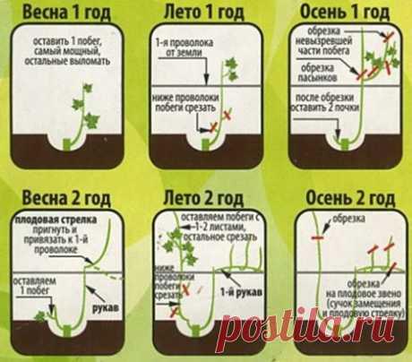 ️ Схема обрезки винограда Сохраните себе, чтоб не потерять