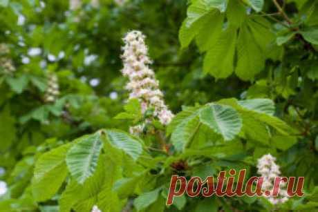 Kwiaty kasztanowca, liście i młode owoce - receptury lecznicze