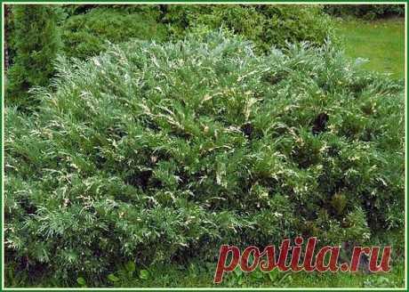 Размножение можжевельника черенками | Дачная жизнь - сад, огород, дача