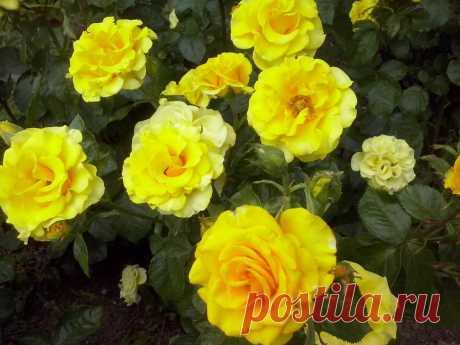 Многолетние цветы: уход и борьба с вредителями, посадка и размножение   Огородники