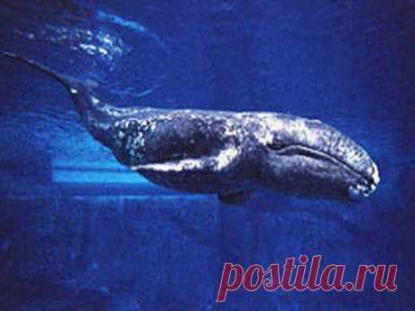 Серый кит фото