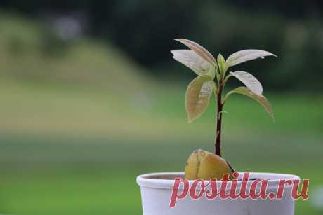 8 растений, которые легко вырастить из косточки