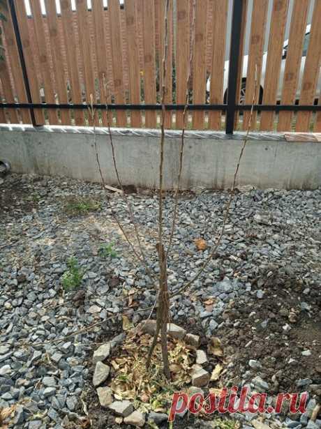 Посадка саженцев осенью в саду: абрикос, груша, яблоня, вишня | Дом с огородом в пригороде | Яндекс Дзен К вопросу выбора саженцев деревьев я подхожу довольно серьезно, так как посадив однажды, я уже никогда не смогу это дерево спилить, даже пересадить за пределы участка рука не поднимается, так как то, что за пределами, это уже не моё. И дело не в жадности, а в том, чтобы быть уверенной в благополучном росте «изгоя» уже не получится.